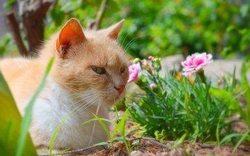 цветы, трава, кот, мордочка, усы, кошка, взгляд