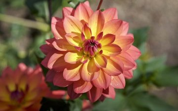 flowers, petals, dahlias