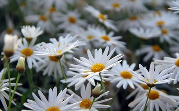 flowers, petals, chamomile, white