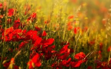 flowers, field, summer, red, maki, blur