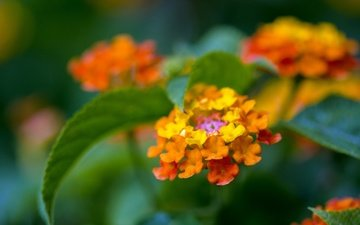 flowers, leaves, macro, background, lantana