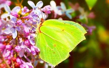 цветы, насекомое, бабочка, крылья, сирень, крушинница