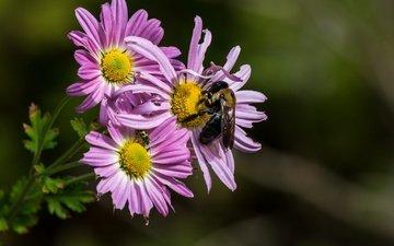 цветы, насекомое, лепестки, пчела, хризантемы