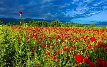 небо, цветы, облака, поле, лето, маки, чертополох, маковое поле
