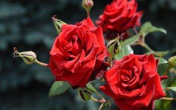flowers, nature, buds, summer, roses, petals