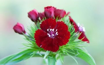 цветы, природа, цветок, лепестки, гвоздика, китайская гвоздика