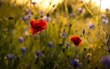 цветы, природа, маки, стебли, васильки