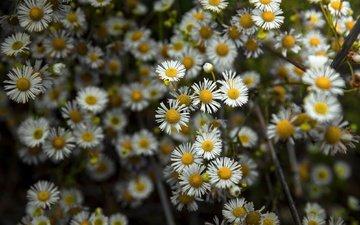 flowers, nature, petals, chamomile, white