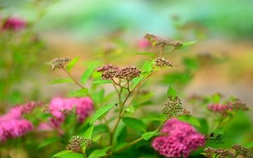 flowers, nature, bush, spiraea