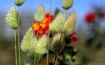 цветы, трава, растения, поле, луг, колоски, стебель