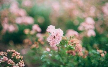 цветы, бутоны, розы, лепестки, размытость, розовые, куст, боке