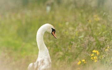 цветы, трава, птица, клюв, перья, лебедь, желтые цветы