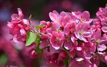 flowers, branch, tree, flowering, petals, spring