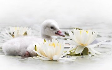 flowers, water, chick, bird, beak, lily, swan, water lilies