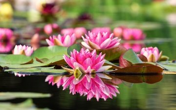 flowers, water, leaves, reflection, petals, water lilies, water lily