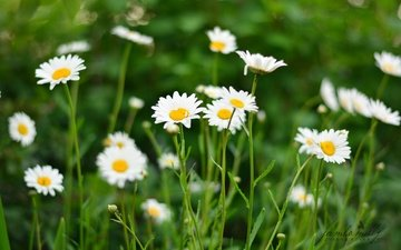 flowers, field, summer, petals, chamomile, white