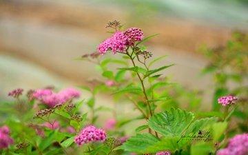 flowers, leaves, spiraea