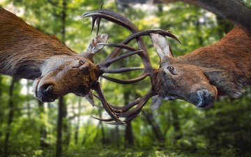 trees, greens, forest, background, battle, the battle, horns, deer, two, the fight, muzzle, bokeh