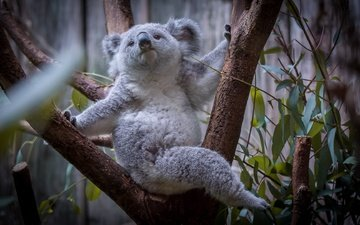 tree, leaves, muzzle, look, koala