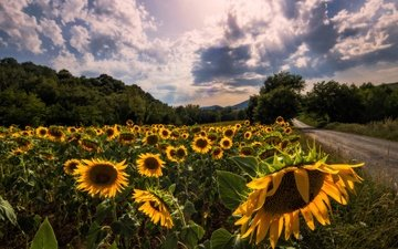 road, clouds, trees, the sun, field, summer, sunflowers