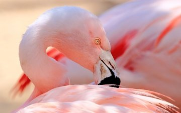 фламинго, птица, клюв, перья