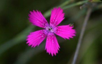 фон, цветок, лепестки, размытость, гвоздика