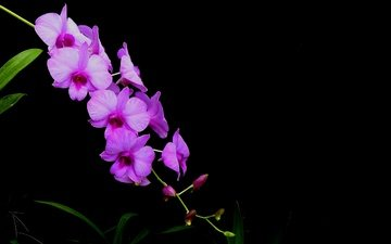 flowers, background, petals, black background, orchid, inflorescence
