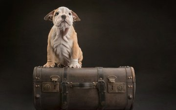 background, muzzle, look, dog, puppy, suitcase