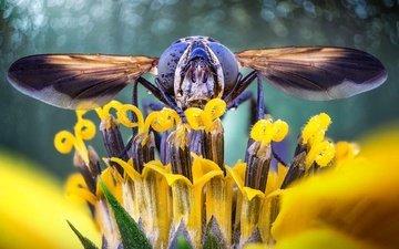 глаза, природа, насекомое, цветок, крылья, голова, муха, журчалка