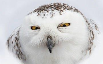 eyes, owl, look, bird, beak, feathers, snowy owl, white owl