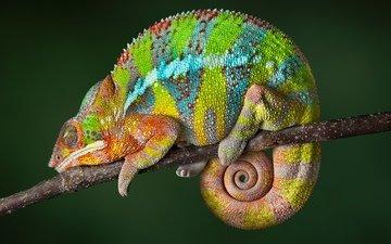 ящерица, хамелеон, рептилия, мадагаскар