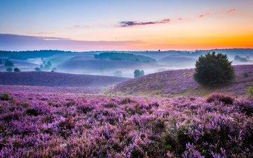 flowers, hills, nature, landscape, morning, field, fog, lavender, horizon, dawn