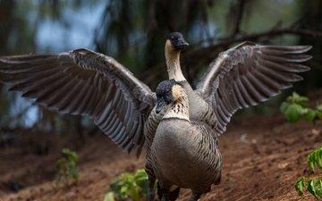 крылья, птицы, клюв, пара, перья, гусь, гуси