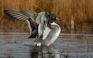 wings, pond, bird, beak, feathers, duck, pintail