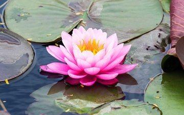 water, leaves, flower, petals, lily, nymphaeum, water lily