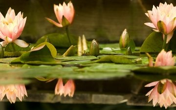 flowers, water, buds, leaves, reflection, petals, water lilies, water lily