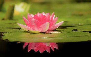 water, leaves, reflection, flower, petals, lily, bokeh, water lily