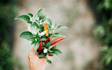 рука, листья, овощи, чили, перец