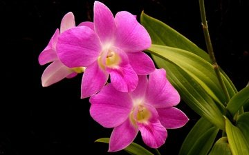 flowers, leaves, background, petals, orchid