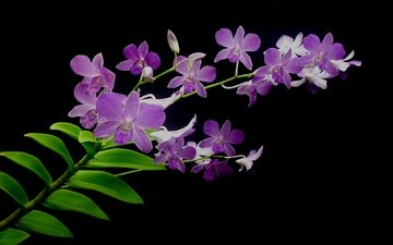 leaves, macro, background, petals, black background, orchid, inflorescence