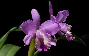 flowers, leaves, macro, background, petals, orchid