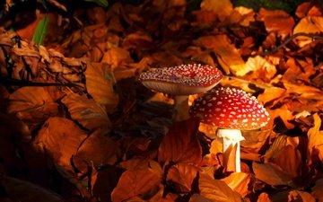 природа, листья, осень, грибы, мухомор, мухоморы
