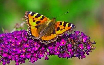 макро, насекомое, бабочка, крылья, цветочки