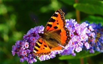 цветы, растения, насекомое, бабочка, крылья