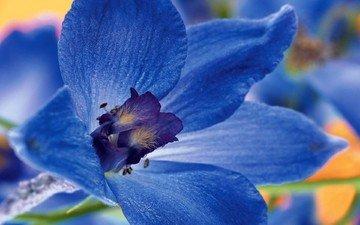 macro, flower, petals, blue flower, delphinium