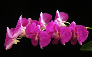 flowers, macro, background, petals, black background, orchid, inflorescence