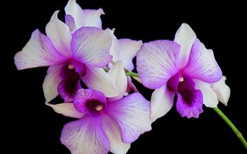 flowers, macro, background, petals, black background, orchid