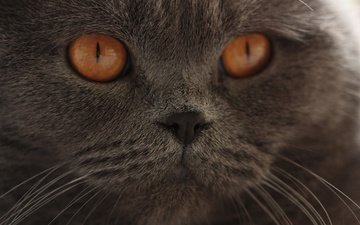 eyes, cat, muzzle, mustache, look, british shorthair