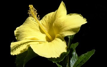 yellow, macro, flower, petals, black background, hibiscus