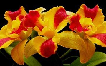 цветы, макро, лепестки, орхидея, соцветие